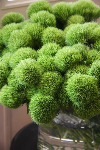 Dianthus-Green